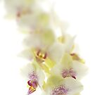 Lemon Orchid by Ann Garrett