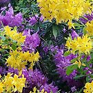 Radiant Rhododendron  by woolcos