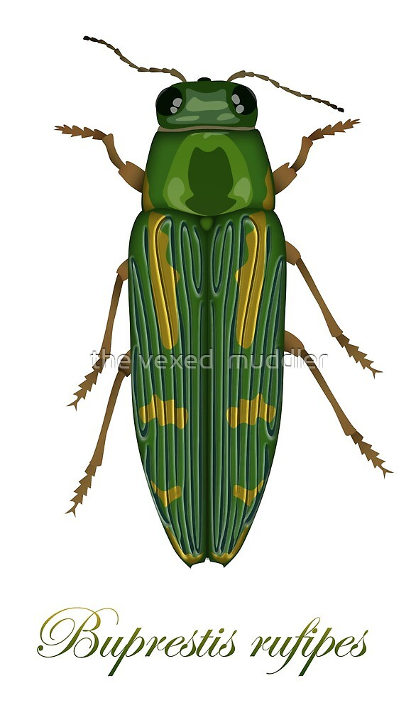 Buprestis rufipes - Red-legged Buprestis beetle by the vexed  muddler