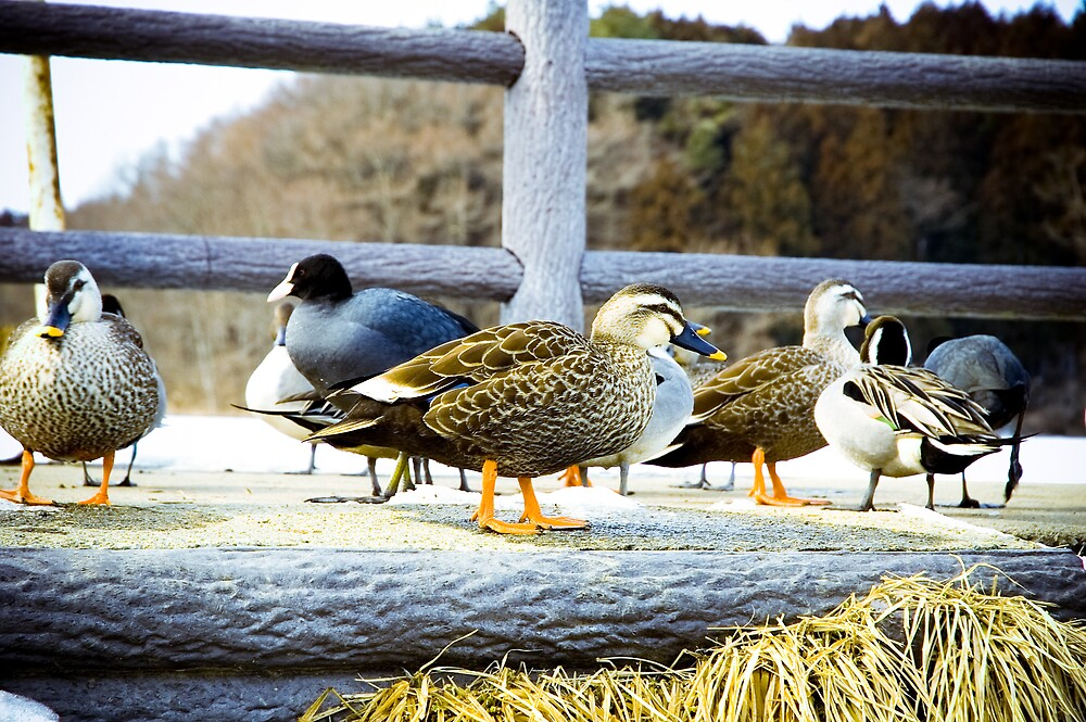 Ducks by komashyaru