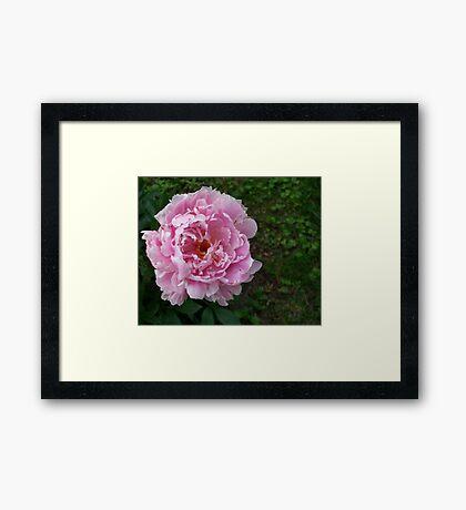 Spring Pinks - Peony Framed Print