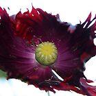 Poppy Dark by agnessa38