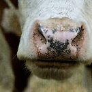 Cow Nose by Coreycw
