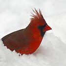 Cardinal  by Enola Wagner