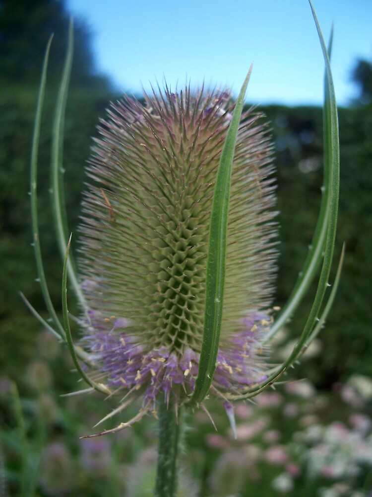 Thistle by robsteadman