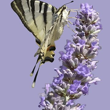 Side View Of Scarce Swallowtail Butterfly Feeding On Lilac by taiche