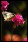 Butterfly 1 by Kerensa Davies