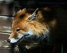 Fox in shed by Foxfire