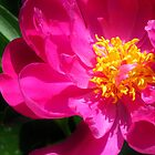 Pretty Pink Peony by lorilee