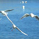 Seagulls  by dOlier