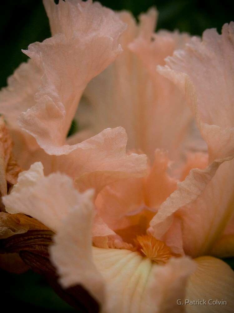 Pink Lace Iris by Gregory Colvin