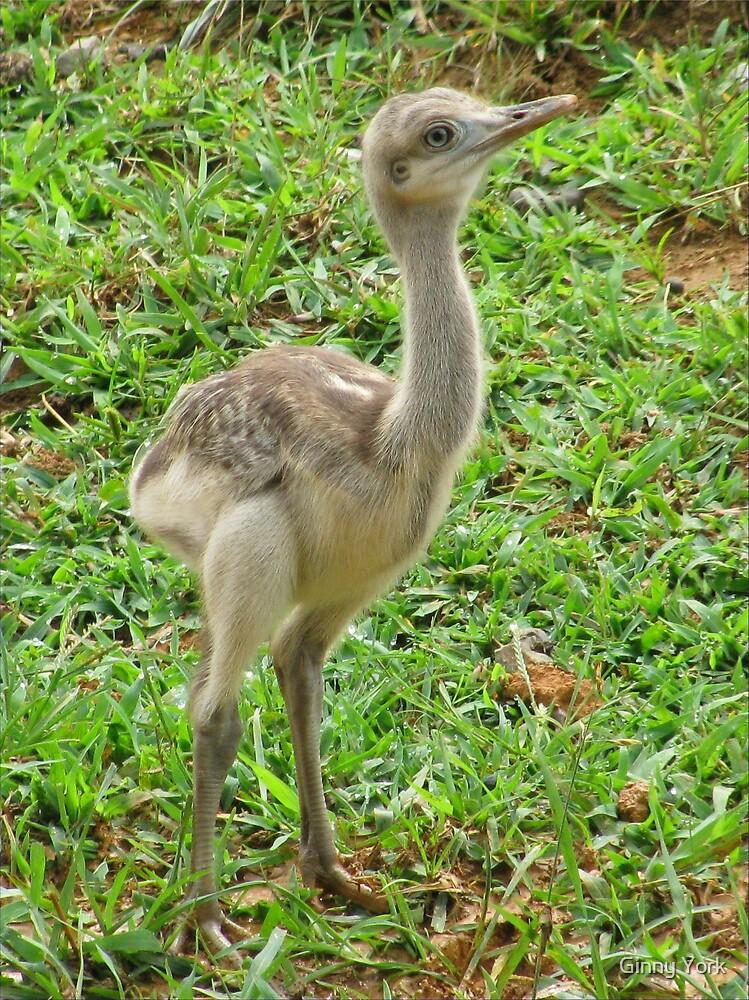 Baby Ostrich by Ginny York