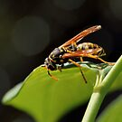 Wasp in the Sun by Tracy Friesen