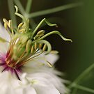 """The Heart of a """"Love in a Mist"""" by Tracy Friesen"""