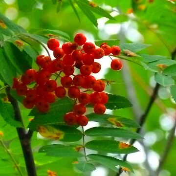 Mountain Ash, (Rowen Berry) by MaeBelle