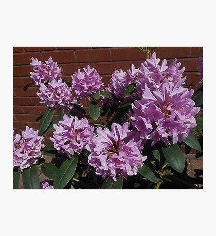 Rhododendron genießt den Sonnenschein Fotodruck