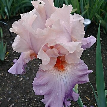 Breathtaking Bon Appetit Iris by amberwayne52