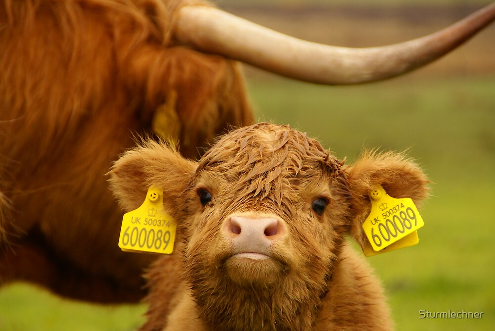 Babycow from Scotland Highlands by Sturmlechner