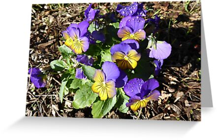 Delightful Pansies to brighten a cold day! 'Arilka', Mount Pleasant.  by Rita Blom