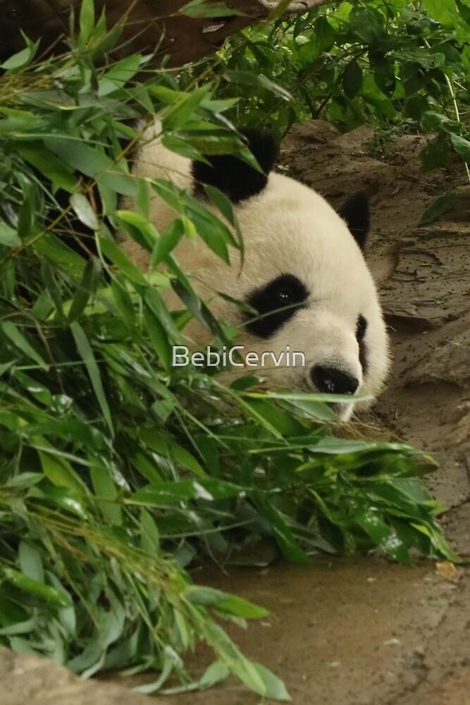 Asia, China, Beijing, Zoo, Animal, Panda, Photography, BebiCervin by BebiCervin