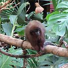 Red Titi Monkey by Marie Brown ©