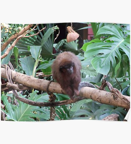 Red Titi Monkey Poster