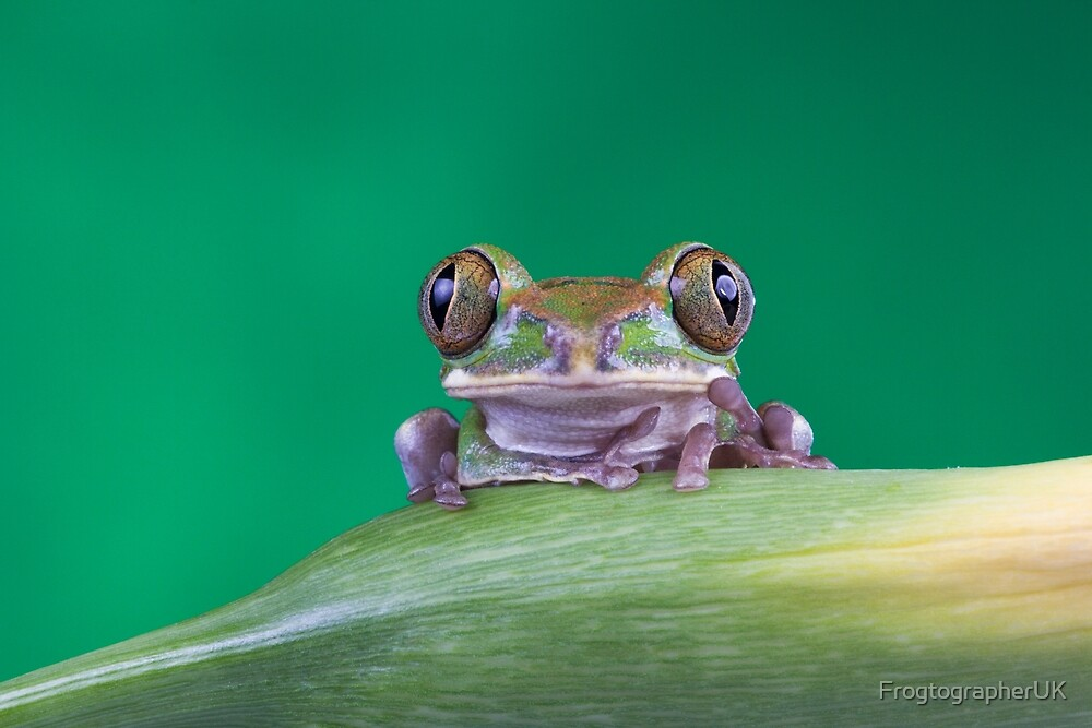 Peacock frog on stem by FrogtographerUK