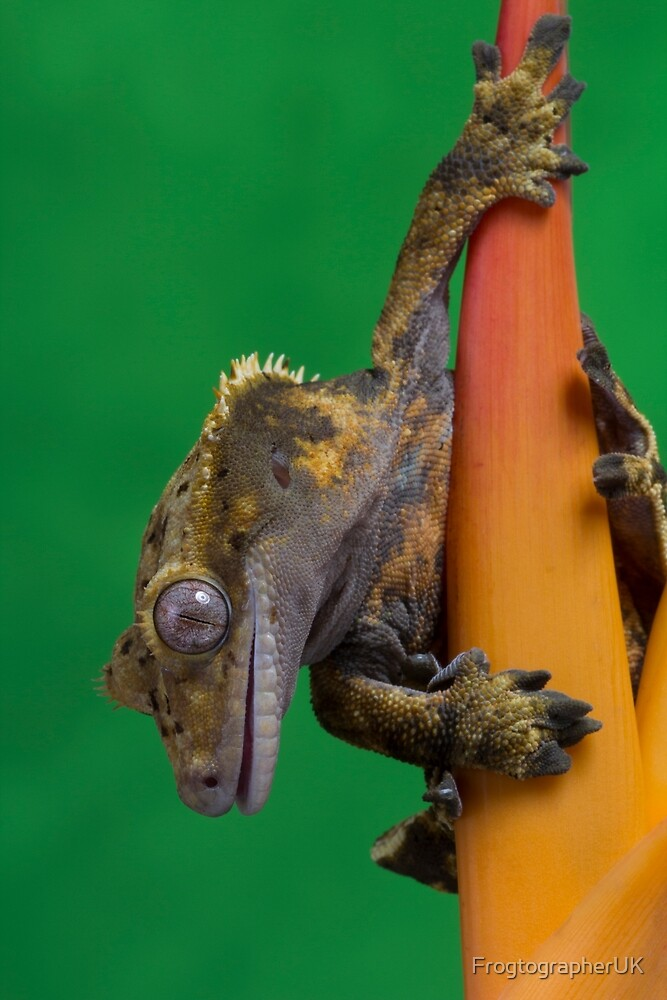 Which way is down - Crested gecko by FrogtographerUK