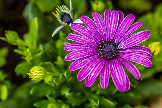Purple cape daisy by craig777red