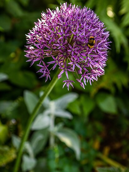 Bee on alium flower by craig777red
