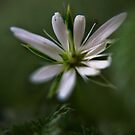 White & Green (from willd flowers collection) by Antanas