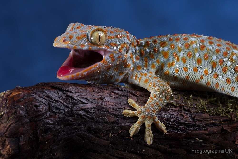 Dont mess with me - Tokay gecko on blue by FrogtographerUK