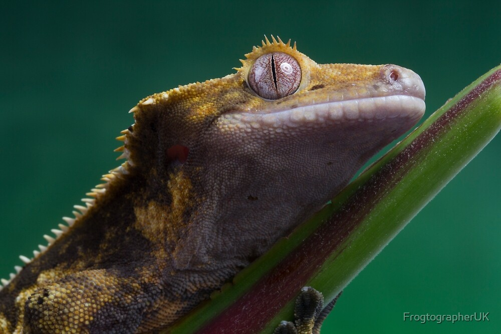 Crested gecko close up by FrogtographerUK