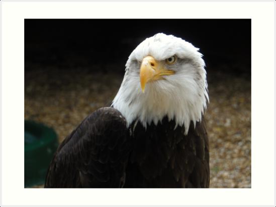 Eagle Eyed Predator.  by Heath-Photos