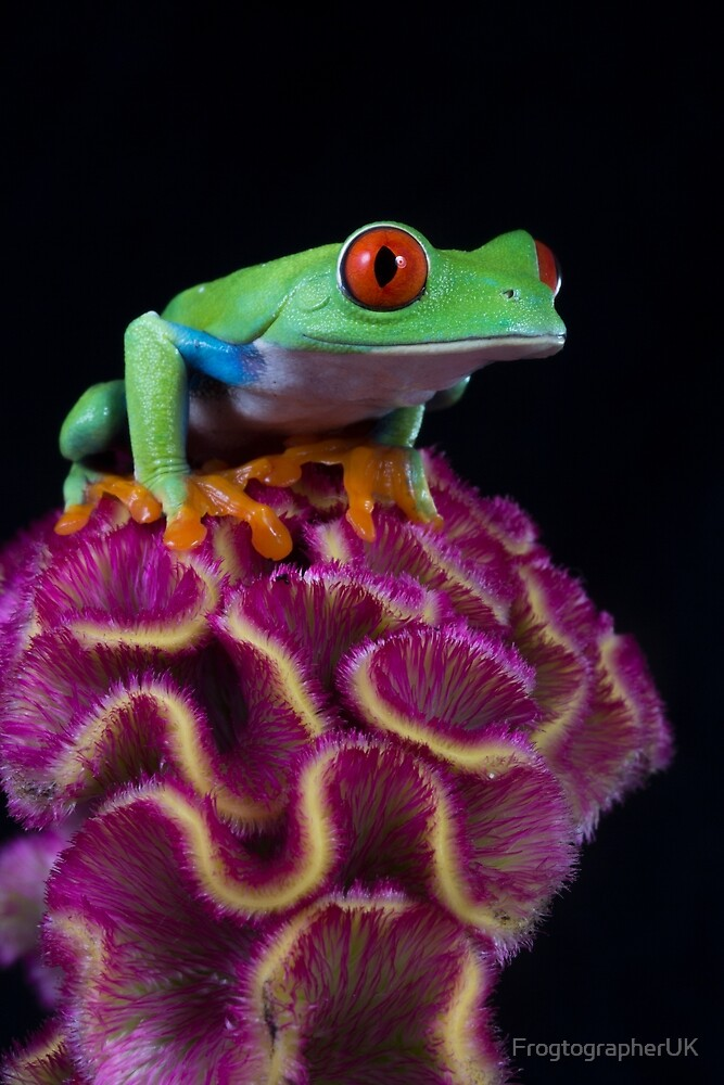 Red eyed tree frog on unusual tropical flower by FrogtographerUK