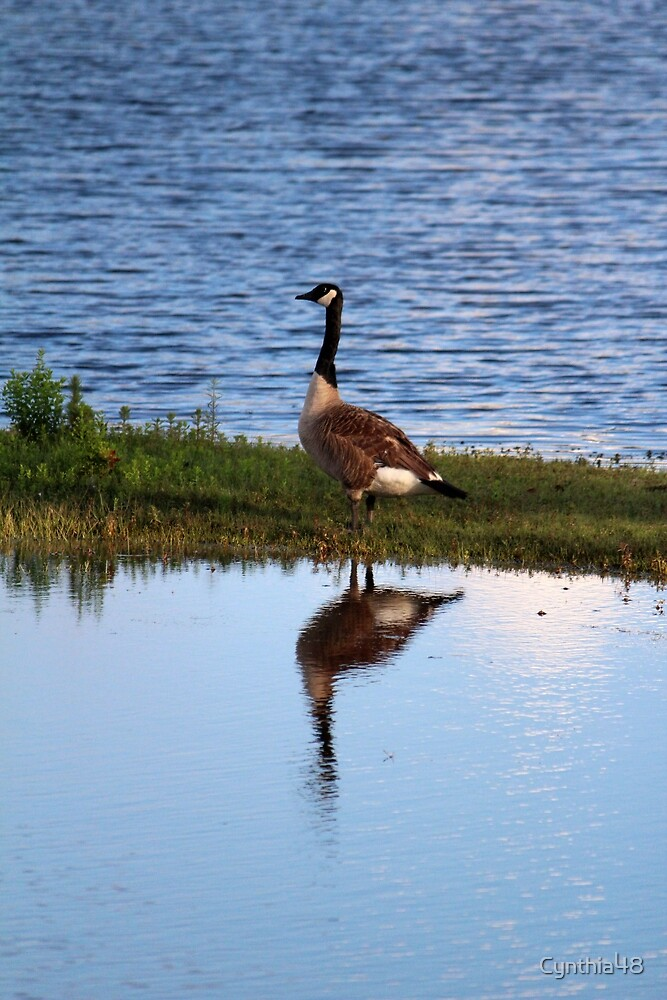 Goose Reflection by Cynthia48