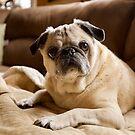Cute pug dog. by Edward Mahala