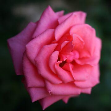 rosa rose von Mows