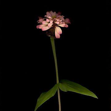Zinnia Ballerina I Dark Floral by LindasPhotoArt