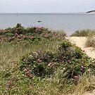Beach path with beach plum roses in bloom by Linda Crockett