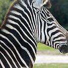 Zebra Head by Dan Shiels