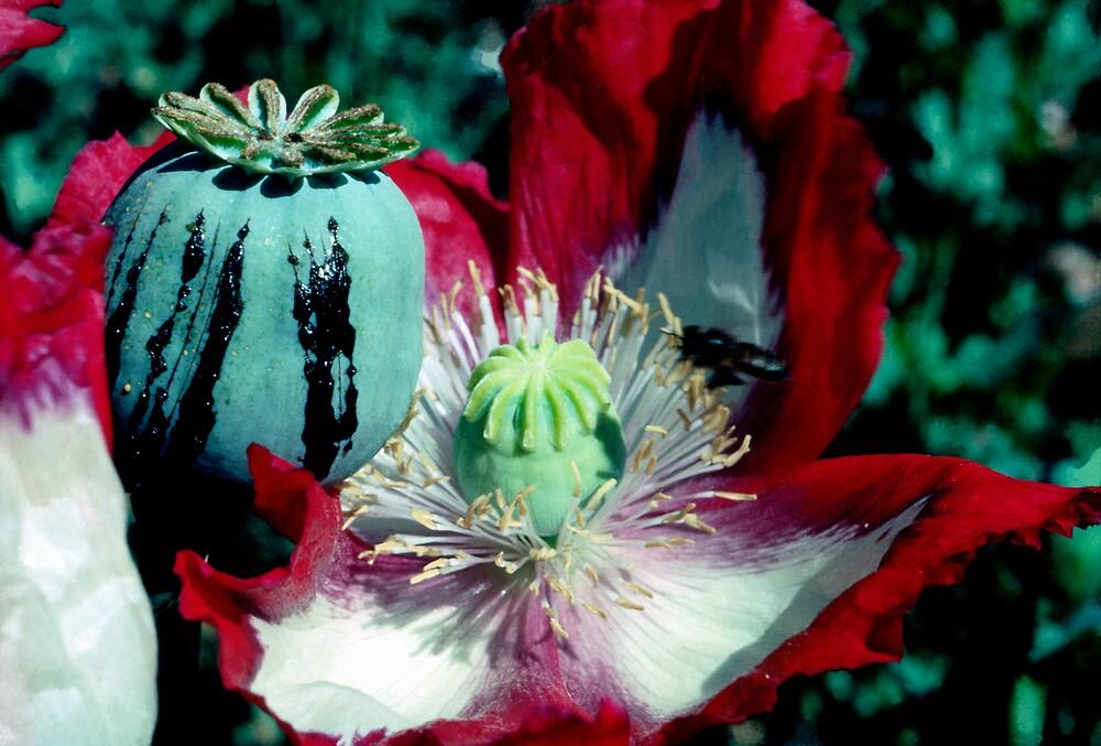Opium poppy macro by John Spies