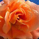 Apricot Summer Rose by SmoothBreeze7