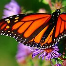 Monarch and Asters by Nancy Barrett