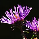 Sunlit Asters by Nancy Barrett
