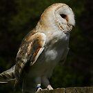 Barn Owl by MendipBlue