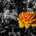 orange gold rose, bwbg 05/28/18 by Shellaqua