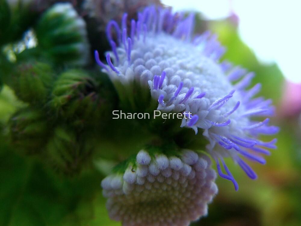 Pompoms - 2 by Sharon Perrett