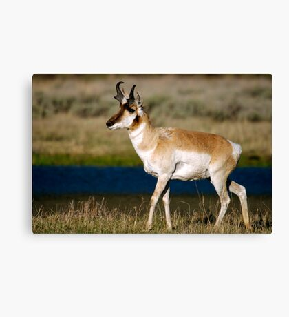 Pronghorn - Lamar Valley Canvas Print