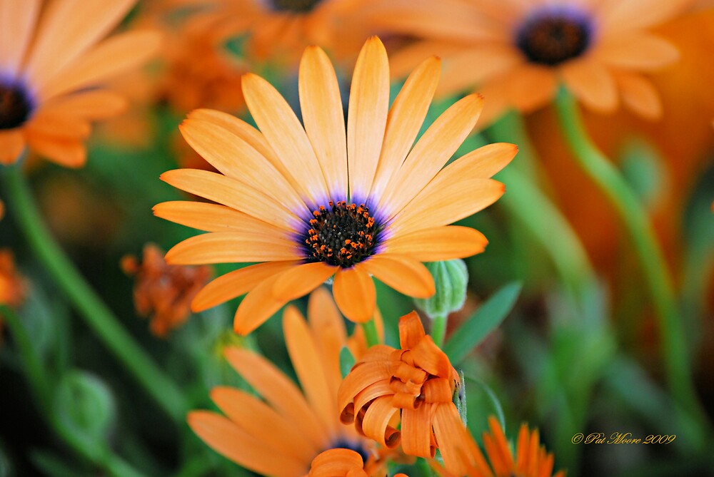 Orange Perfection by Pat Moore